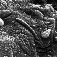 Structures resembling bacteria on Martian ALH84001 meteorite