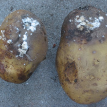 Potato with Blight