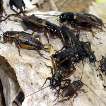 African Field cricket Gryllus bimaculatus