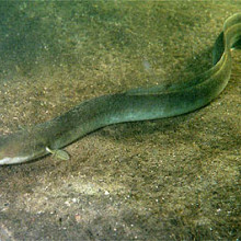 European eel (Anguilla anguilla) by Ron Offermans