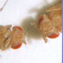 Antennapedia fruit flies