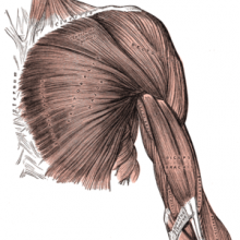 Arm muscles - front, superficial