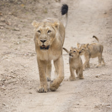 Asiatic lions in the Gir Forest