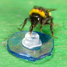 Bee Feeding in a laboratory experiment