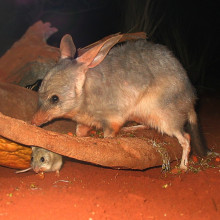 A Bilby (Macrotis lagotis) with a smaller animal - either a baby Bilby or a mouse - at Sydney Wildlife World, a zoo in Sydney.