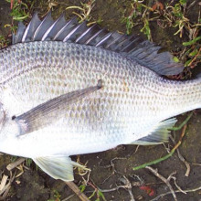 Southern Black Bream