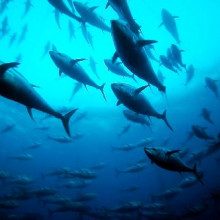 Blue fin tuna in a cage