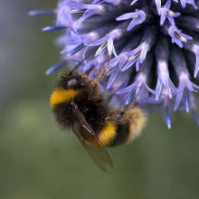 The buff-tailed bumblebee (Bombus terrestris) visiting Globe thistle. By Penny Firth.