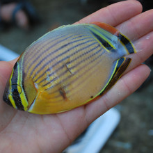 Butterfly fish, caught in Fiji as part of a marine research expedition.
