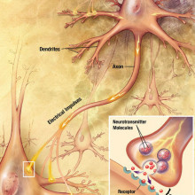 The process of synaptic transmission in neurones.