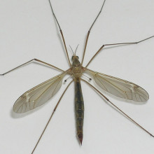 Crane fly or Daddy longlegs