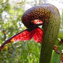 Darlingtonia californica, a species of carnivorous pitcher plant