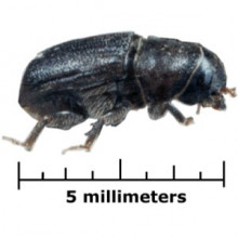 The mountain pine beetle