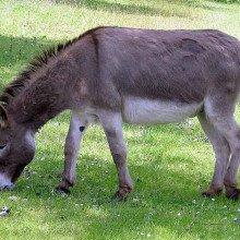 A donkey at Clovelly, North Devon, England.