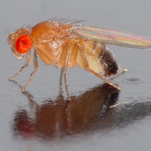 This image shows a 0.1 x 0.03 inch (2.5 x 0.8 mm) small Drosophila melanogaster fly.
