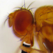 Head of Drosophila residua. Photo taken by Karl Magnacca. Beer added by Ben of the Naked Scientists.