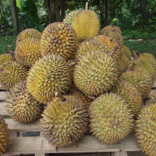 This native fruit from Indonesia, widely known and revered in southeast Asia as the \king of fruits\, the durian is distinctive for its large size, unique odour, and formidable thorn-covered husk. The fruit can grow as large as 30 centimetres long...