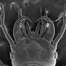 A SEM photograph of larvae head (first instar) showing specialized double-hooked mandibles of Epomis dejeani.