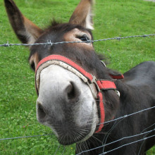 Curious looking donkey on a pasture near Ettal, Germany