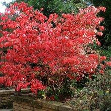 Euonymus alatus compactus in autumn colour