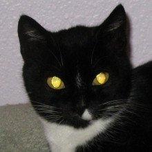 Black and white housecat looking at the camera and exhibiting yellow tapetum lucidum eyeshine.