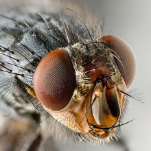 Sarcophagidae Fly