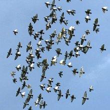Flock of birds in flight