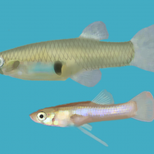 Mosquitofish - Gambusia holbrooki. Female (up), male (down)