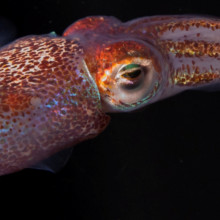 The adult Hawaiian bobtail squid (''Euprymna scolopes'') with inset scale.