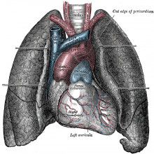 A human heart and lungs