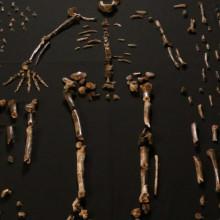 Dinaledi skeletal specimens - from eLife DOI: 10.7554/eLife.09560.003