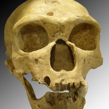 Recently discovered hominid species shared the landscape with modern humans and neanderthals. Neanderthal skull featured.