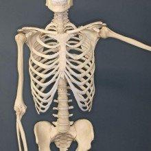 Human Skeleton on Exhibit at The Museum of Osteology, Oklahoma City, Oklahoma.