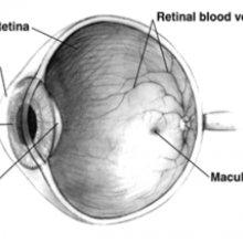 Human eye cross-sectional view grayscale
