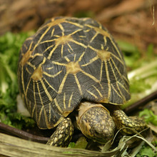 Geochelone elegans the Indian Star Tortoise