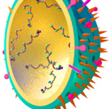 Influenza Virus model