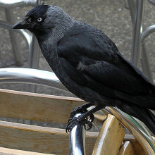 Jackdaw on the North Devon coast, England. Taken by Adrian Pingstone in July 2004 and released to the public domain.