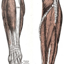 Extensors and Deep flexors of the leg, Gray's Anatomy of the Human Body, 1918