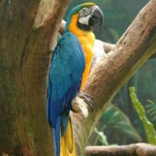 Blue and Yellow Macaw on branch