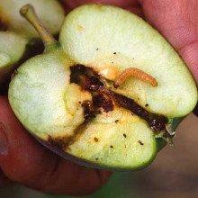 Codling Moth Larvae