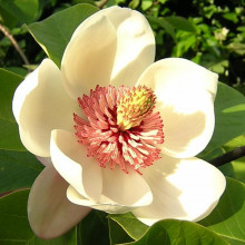 Magnolia Watsoni, one of the many Magnolia plants