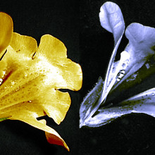 Mimulus flower photographed in visible light (left) and ultraviolet light (right) showing a nectar guide visible to bees but not to humans.