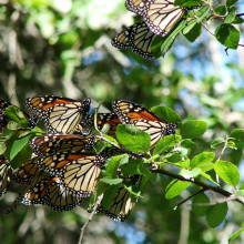 Migrating Monarch butterflies (Danaus plexippus plexippus) in central Texas.