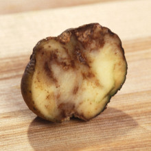 Potato infected by Phytophthora infestans