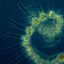 Phytoplankton - the foundation of the oceanic food chain