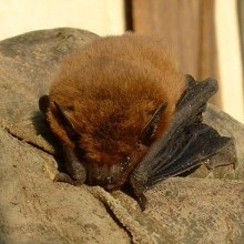 Pipistrellus pipistrellus, the common pipistrelle bat.