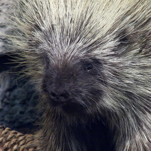 Porcupine photographed by Mary Harrsch.