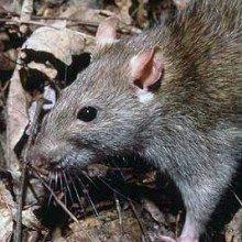 Rattus norvegicus, the Brown Rat.