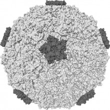 The rhinovirus - this is the outer coat or capsid of rhinovirus 16, one of the causes of the common cold.