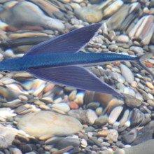 The flying fish Exocoetus volitans